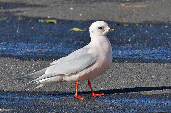 Ross's Gull photo by Donna Pomeroy