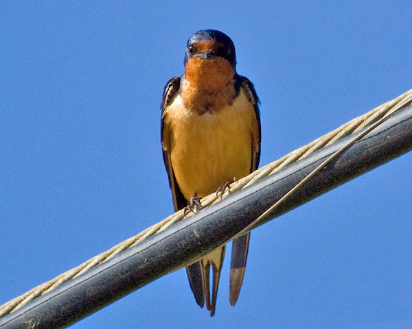 Barn Swallow by Donna Pomeroy